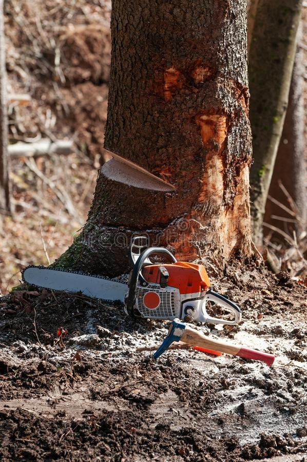 Hookaroon and chainsaw laid on the ground next to wedge-cut spruce tree. Hookaroon and chainsaw resting next to spruce tree with visible wedge cut out royalty free stock photo