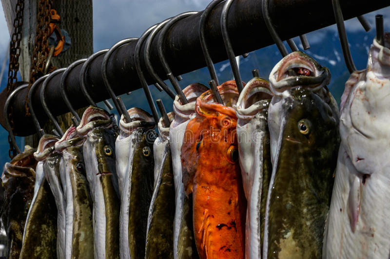 Hooked fish in Alaska. The fish hang on hooks in Seward royalty free stock photo