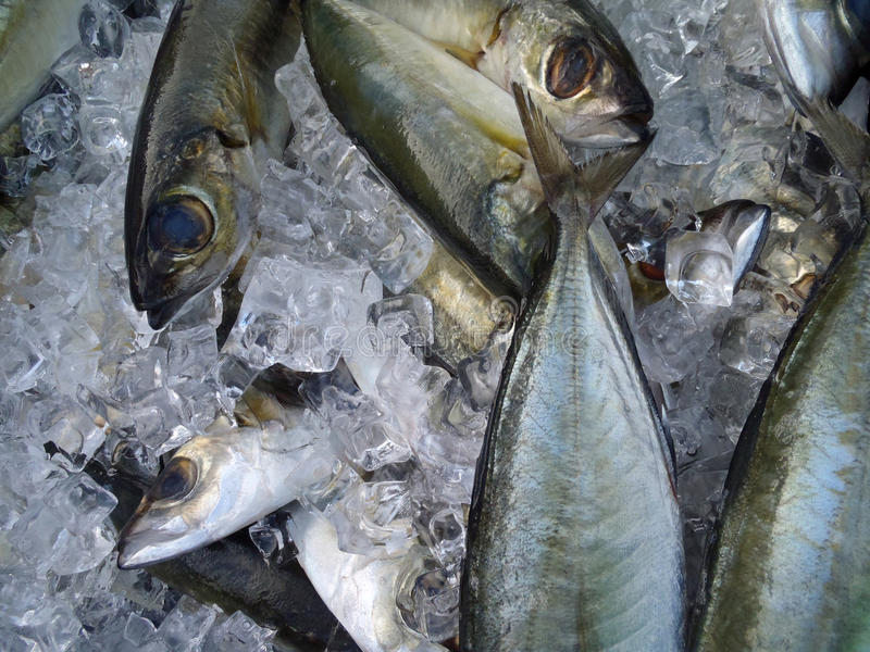 Hooked Opelu Fish on ice royalty free stock image