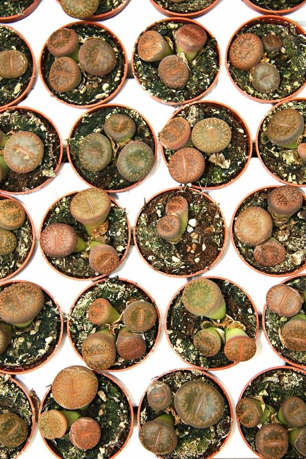 Cactus dans la rangée photos stock