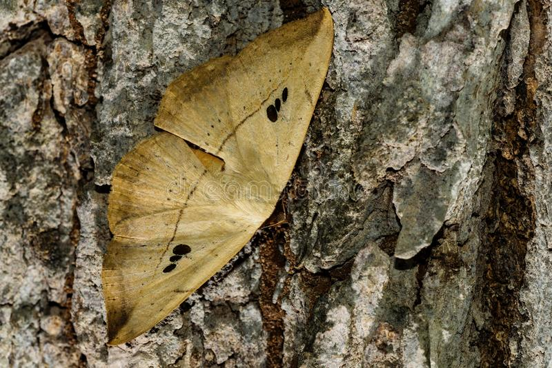 Hooktip moth, Drepanidae, Yeoor, Thane, Maharashtra, India. Hooktip moth, Drepanidae, Yeoor Thane Maharashtra India stock image
