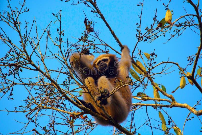 Hoolock长臂猿女性, Hoolock hoolock,长臂猿野生生物保护区 图库摄影