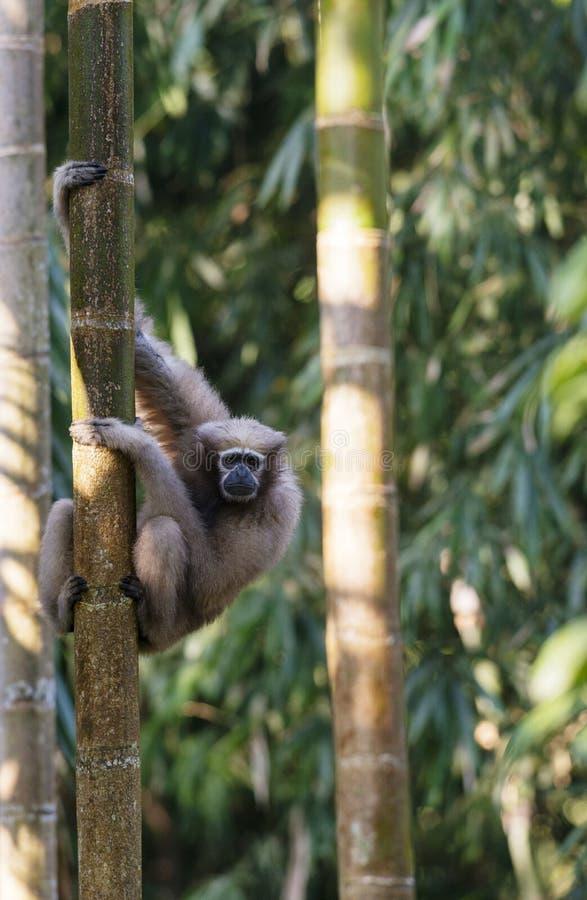 Hoolock Gibbon, female, Tinsukia, Assam, India. Female Hoolock Gibbon at Tinsukia in Assam, India royalty free stock photography
