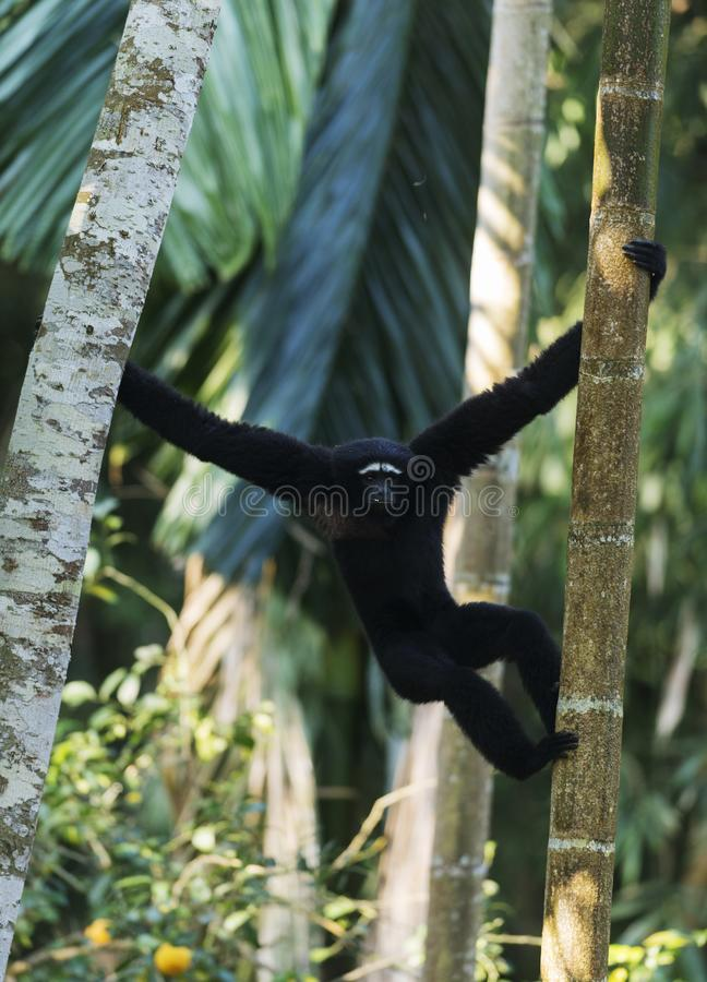 Hoolock Gibbon, male, Tinsukia, Assam, India. Male Hoolock Gibbon at Tinsukia in Assam, India stock photo