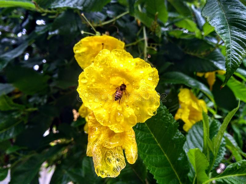 Hoony pszczoły 🠐  obrazy royalty free