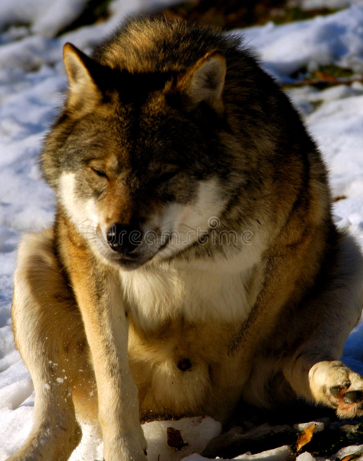 Hoop-la sleigh ride Wolf royalty free stock photography