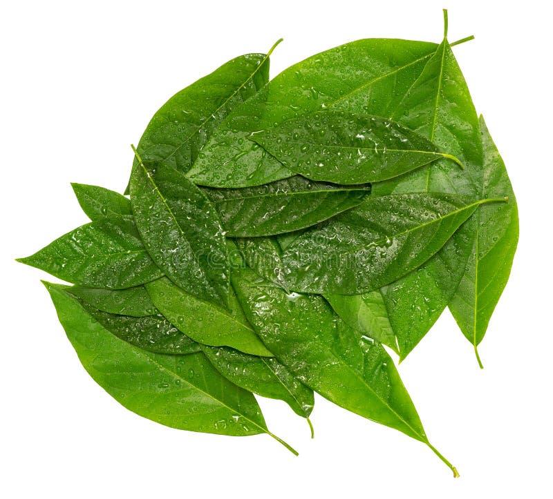 Hoop van avocado groene natte die bladeren over wit worden geïsoleerd stock fotografie