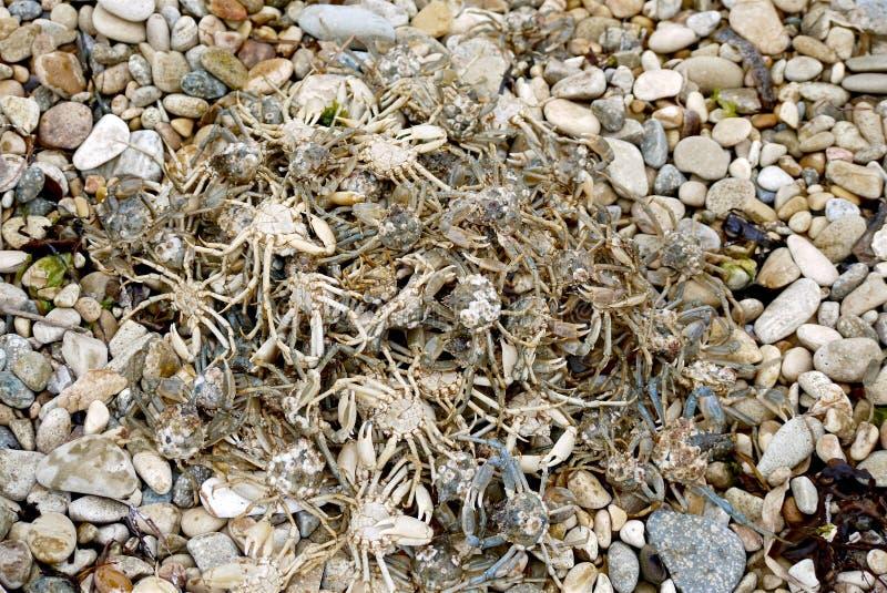 Hoop van kleine het leven krabben stock fotografie