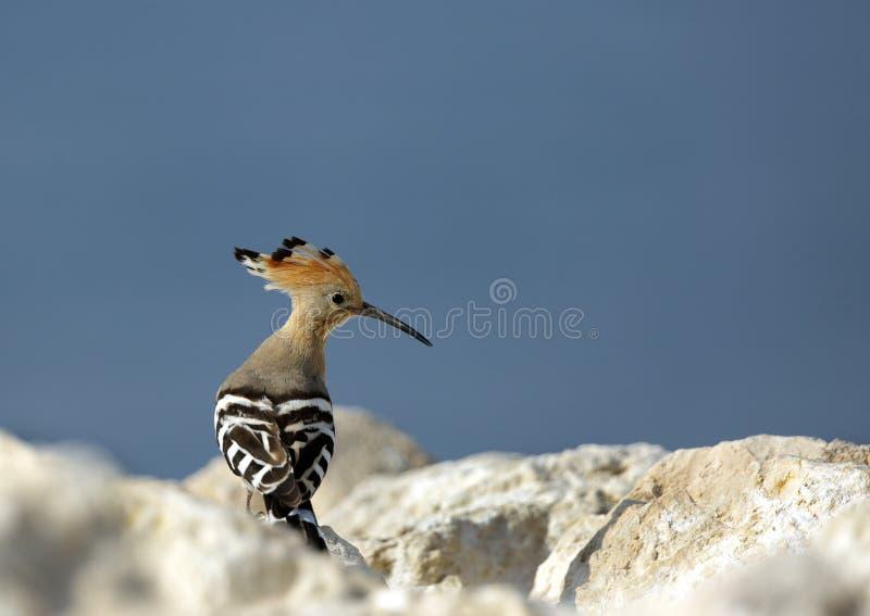 Hoopoe στο βράχο στοκ φωτογραφίες με δικαίωμα ελεύθερης χρήσης