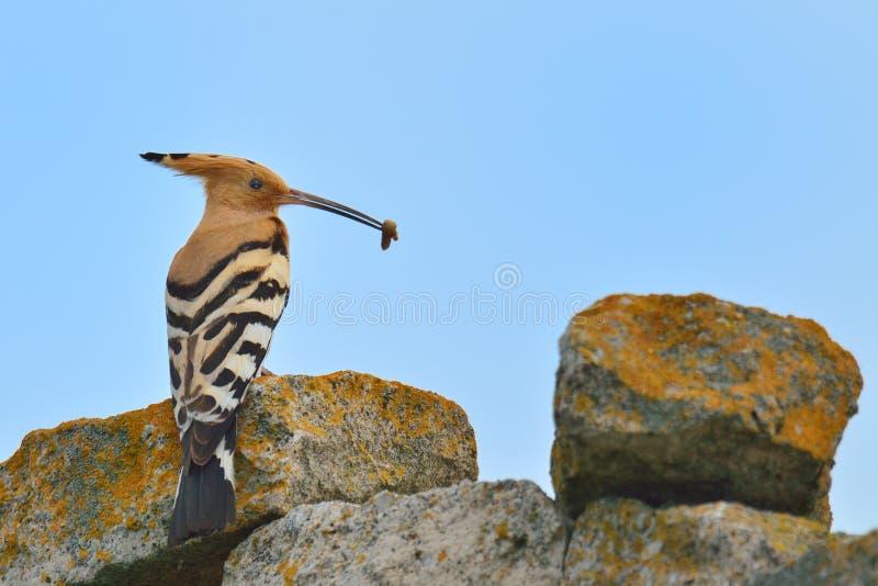 Download Hoopoe stockfoto. Bild von lebensraum, vogelkunde, schön - 26351680
