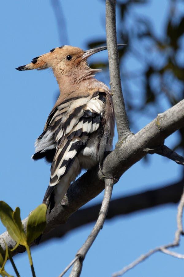 Hoopoe auf einem Baumast am sonnigen Tag stockfotografie