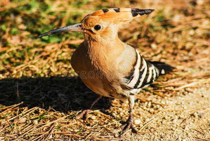 Hoopoe bird in freedom. Bird about 30 cm long, reddish-brown plumage, with black wings and tail with white stripes, and on the head a crest of brown feathers stock photography
