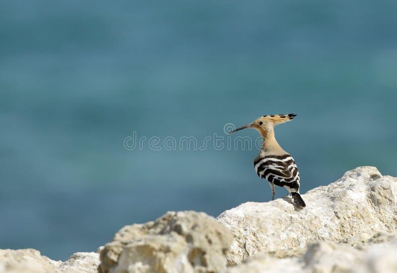 Hoopoe en la costa de Bahrein, playa de Busaiteen foto de archivo libre de regalías