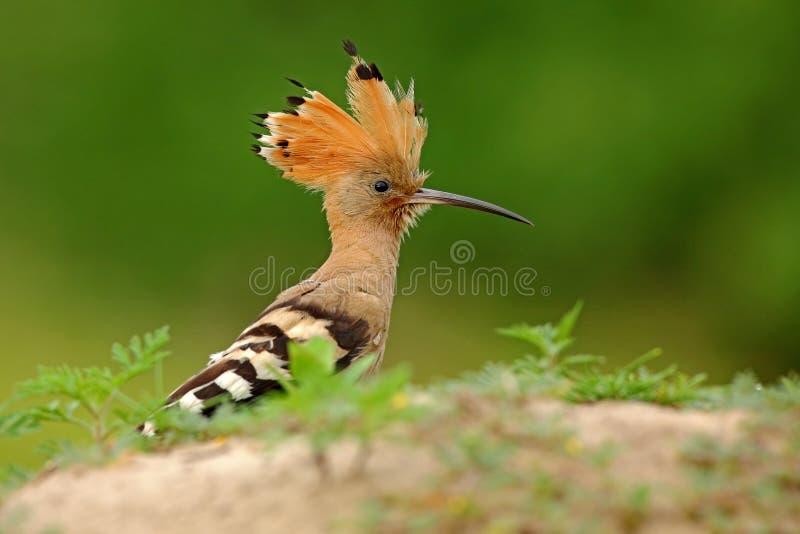 Hoopoe, epops do Upupa, sentando-se na pedra, pássaro com crista alaranjada, Itália imagens de stock