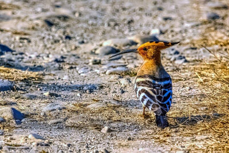 Hoopoe eurasiático en Jim Corbett National Park, la India fotografía de archivo libre de regalías