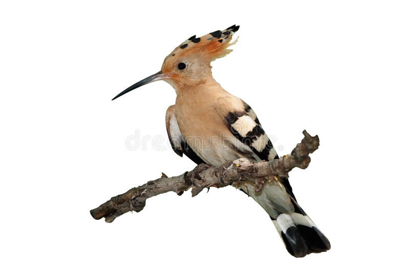 Hoopoe isolado fotos de stock