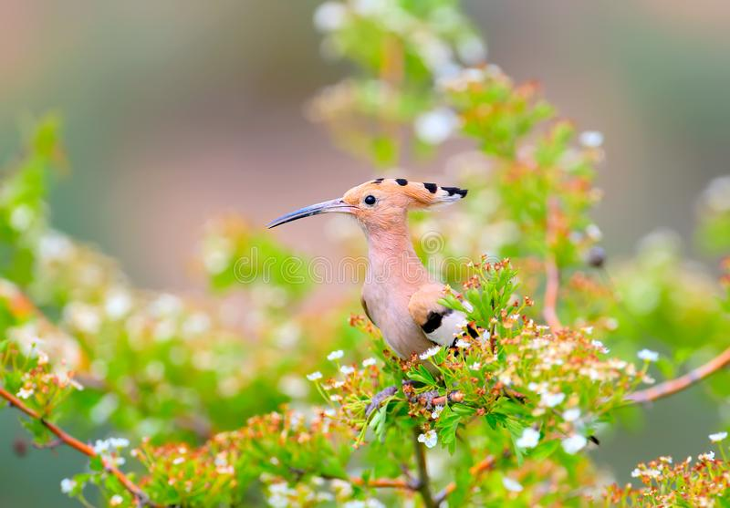 The hoopoe is photographed in the thick grass and on the branches. Of a green bush. Bright color pictures of an unusual bird with good detail royalty free stock images