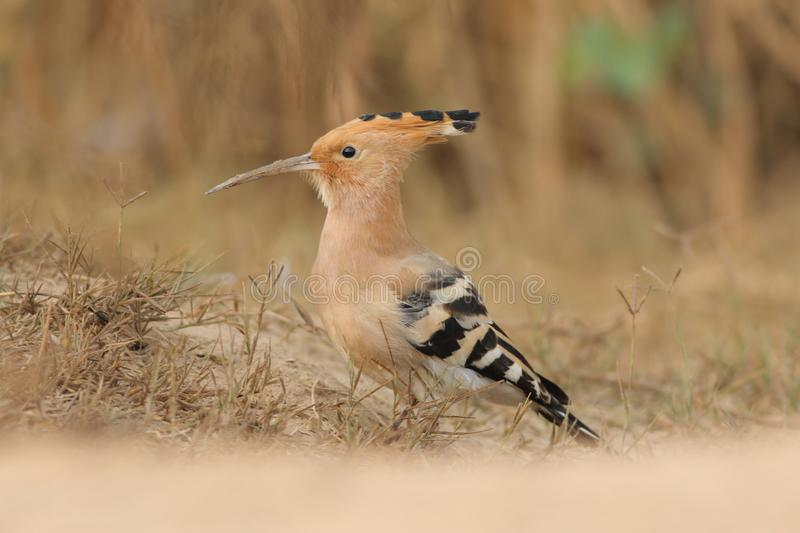 Hoppoe. The Hoopoe is a resident breeding bird which is abundant on the Island and can be seen in many locations. The bird prefers scrubland and parkland but can stock image