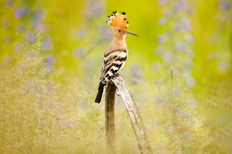 Hoopoe, Upupa epops, nice orange bird with crest sitting by the violet flower on the summer meadow, Hungary. Beautiful bird in the. Nature habitat, wildlife royalty free stock photos