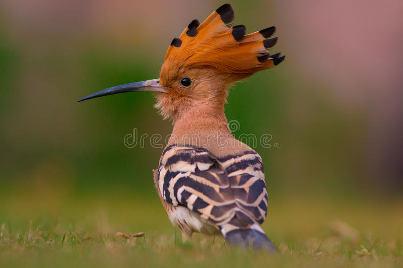 Hoopoe (Upupa epops) preening. The hoopoe is a colourful bird found across Afro-Eurasia, notable for its distinctive 'crown' of feathers. It is the only extant royalty free stock photography