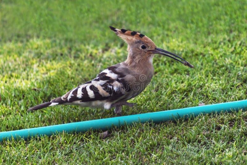 Hoopoe-Vogel, der eine Made hält lizenzfreie stockfotografie
