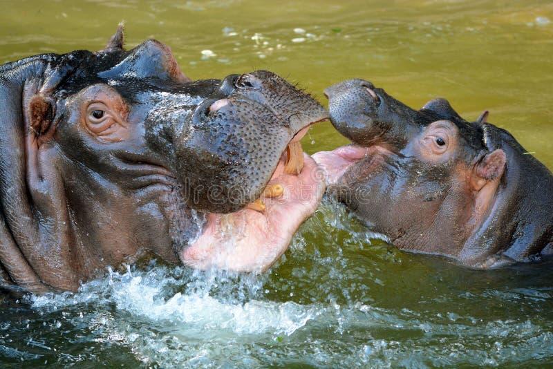 Hooray Dla hipopotamów! zdjęcie stock