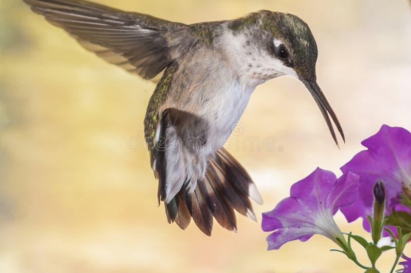 Hooverings Zoemende vogel royalty-vrije stock afbeeldingen
