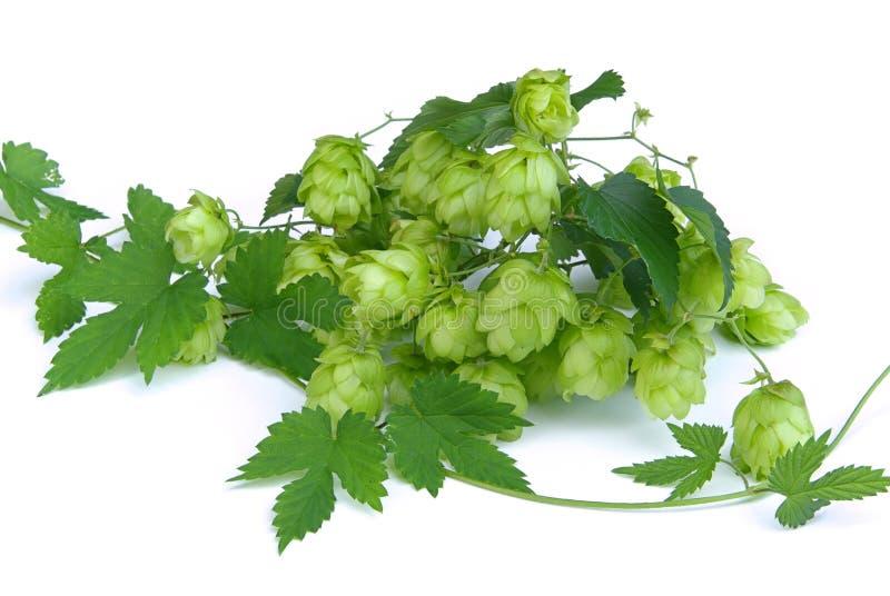 Download Hop 11 stock image. Image of sour, growth, leaf, beer - 6505195