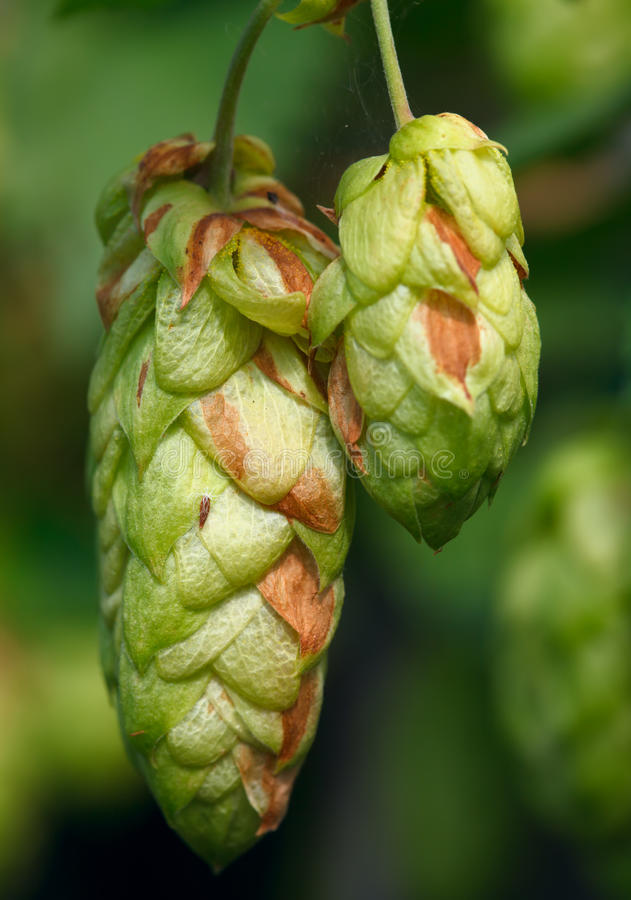 Free Hop. Stock Image - 21065921