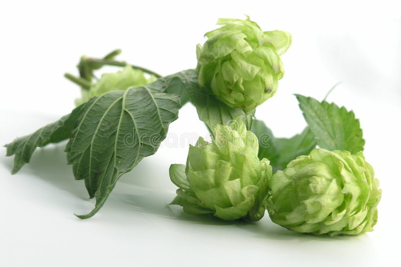 Download Hop stock image. Image of cultivation, brew, cone, hops - 221027
