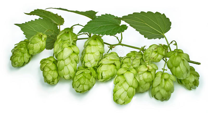 Hop. Blossoming hop with leaves on a white background stock image