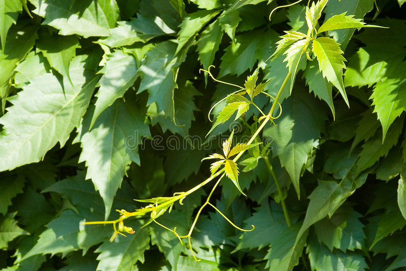 Hop. Branch of green hop. Hop is used in manufacturing beer stock images