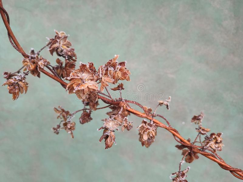 Hop branch in autumn royalty free stock photos