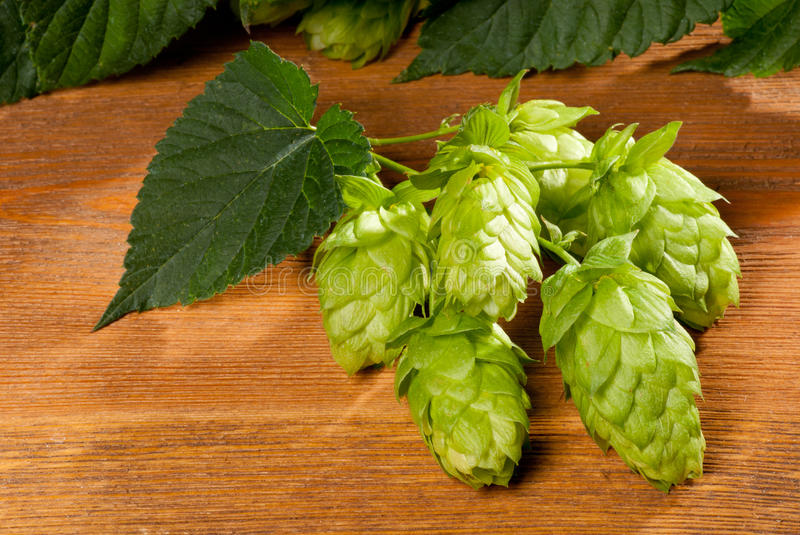 Download Hop cone stock photo. Image of production, vegetation - 27203988