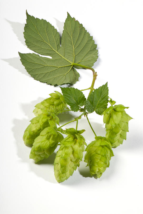 Download Hop cones stock image. Image of field, blade, field, humulus - 26255561