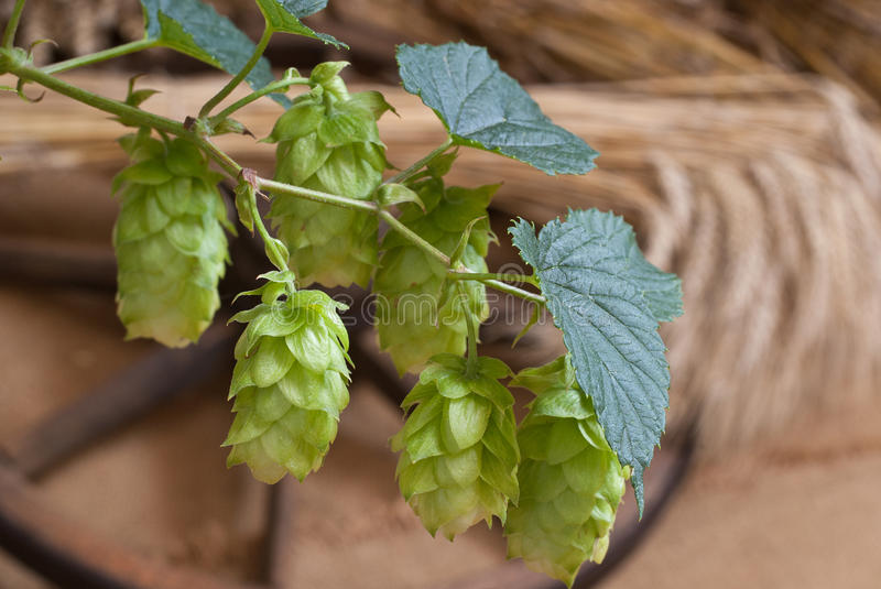 Download Hop cones stock image. Image of picking, field, humulus - 29442429