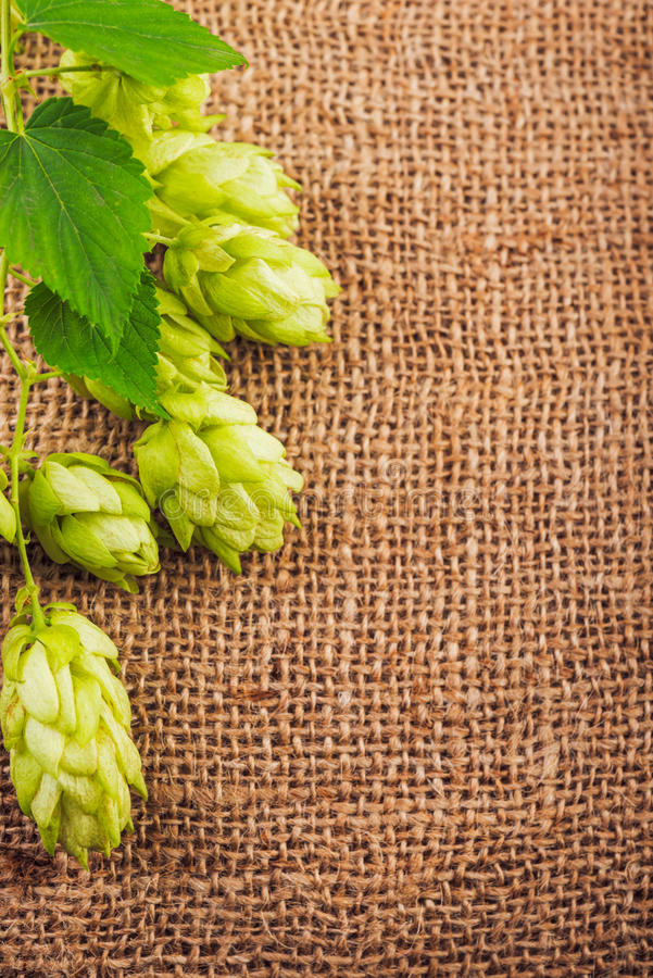 Hop cones on burlap close up. royalty free stock photography