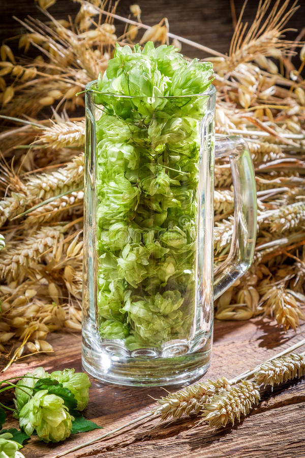 Hop cones collected in a pint of beer royalty free stock photos