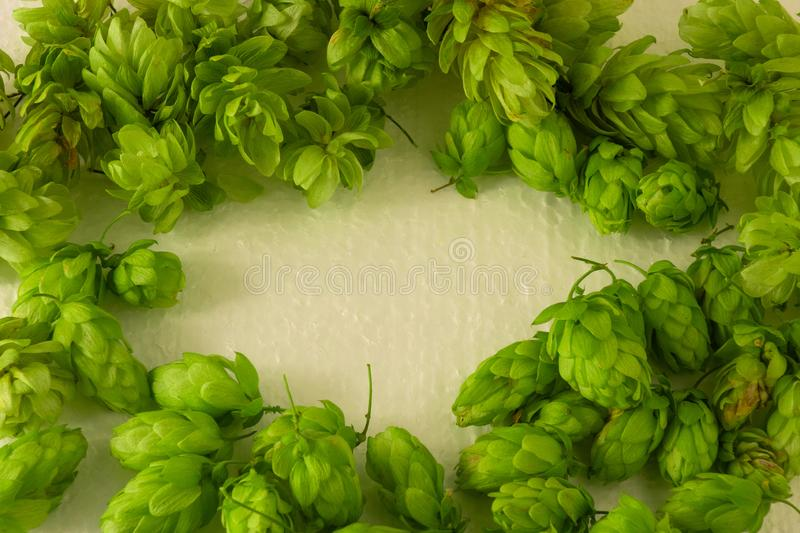 Hop cones green frame with empty oval copy space. Concept of beer brewing process. Herbal pattern template on light background. royalty free stock photos
