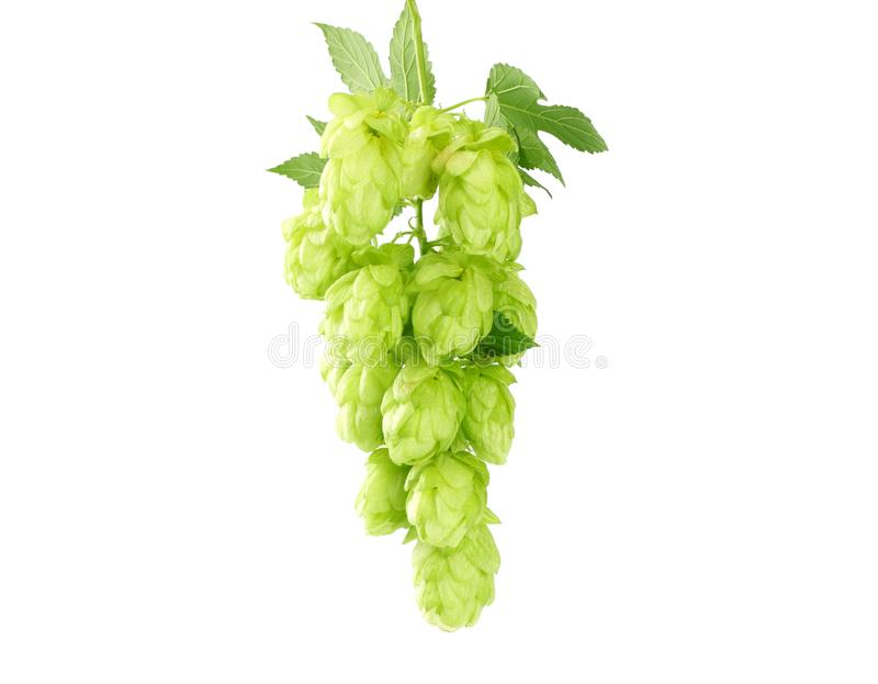 Hop cones isolated on white background. Beer brewing ingredients. Beer brewery concept. Beer background stock images