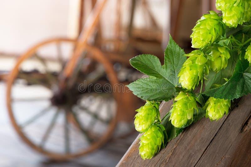Hop cones stock photos