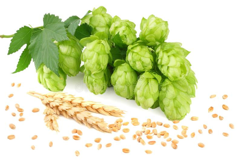 Hop cones and wheat ears isolated on white background. Beer brewing ingredients. Beer brewery concept. Beer background royalty free stock images
