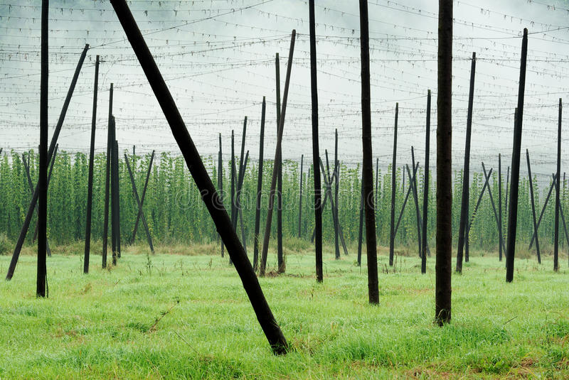 Download Hop Field Royalty Free Stock Images - Image: 15654759