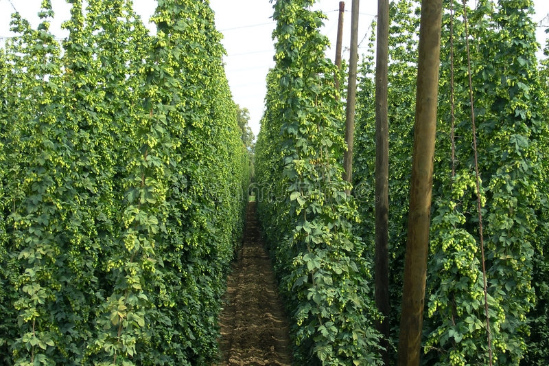 A hop field royalty free stock images