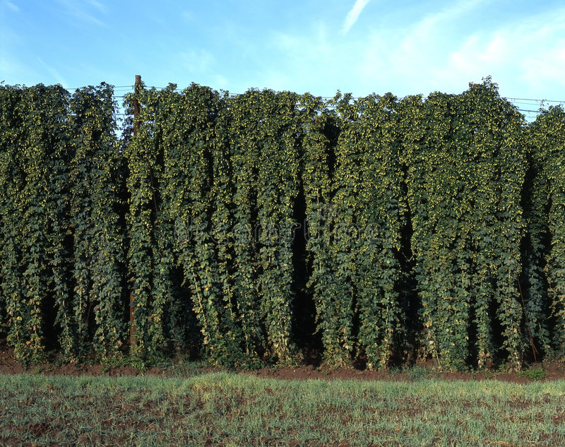 A hop field royalty free stock photo