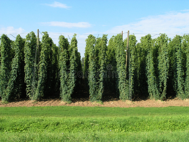 A hop-field stock image