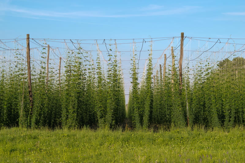 Download Hop field stock image. Image of central, farming, field - 25350683
