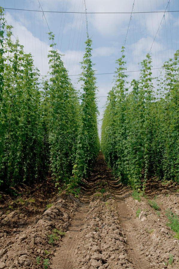Hop field royalty free stock images
