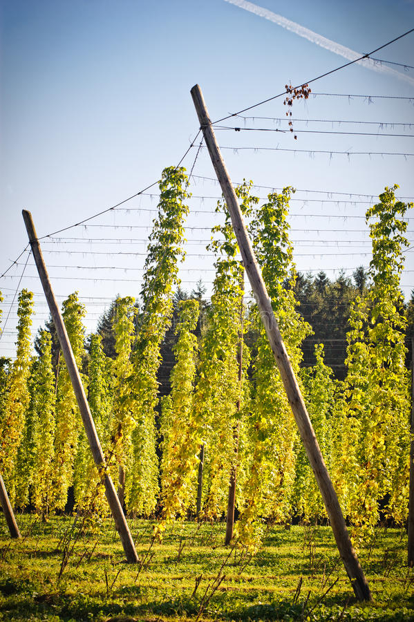 Free Hop Field In Autumn Stock Image - 17208501