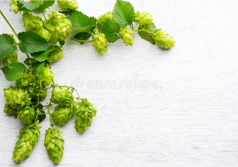 Hop. Fresh whole hops on white wooden table. Blossoming hops with green leaves closeup over white background. Beer ingredients stock photos